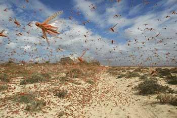 Полчища саранчи появились в Астраханской области