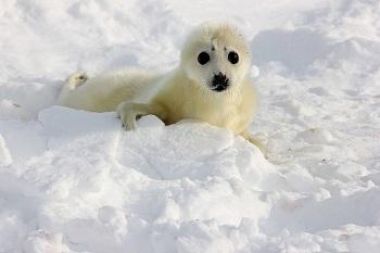 Астраханский школьник вышел в финал во имя спасения детенышей тюленей