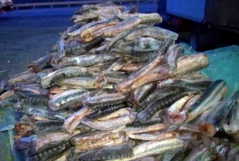 Две тонны осетра под видом перца нашли под Астраханью