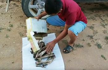 Жадные казахстанцы массово и безжалостно истребляют сайгаков