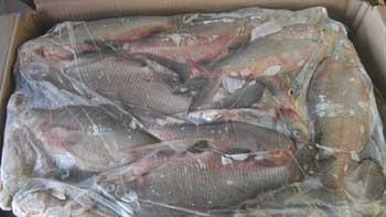 Шокирующее видео из холодильников с рыбой в Астраханской области