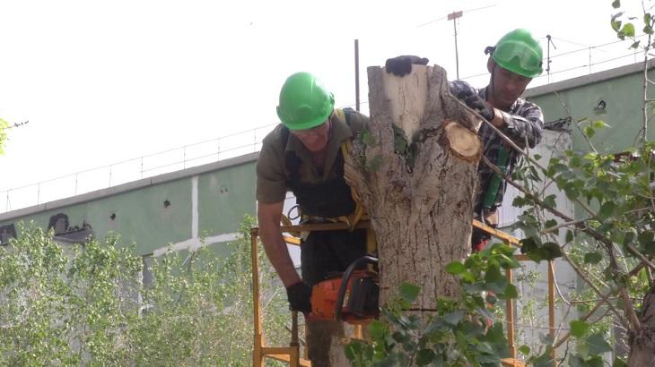 В Астрахани продолжается опиловка деревьев