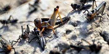 Астраханские ученые предлагают ловить саранчу ультрафиолетом