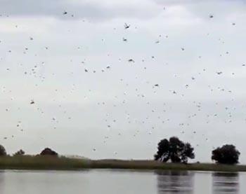 На Астрахань началось нашествие саранчи