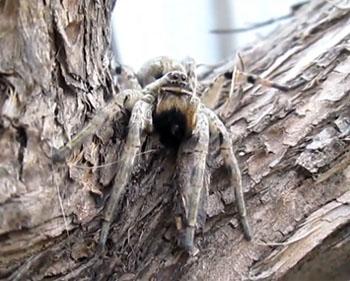 На улицах Астрахани появились ядовитые тарантулы (ВИДЕО)