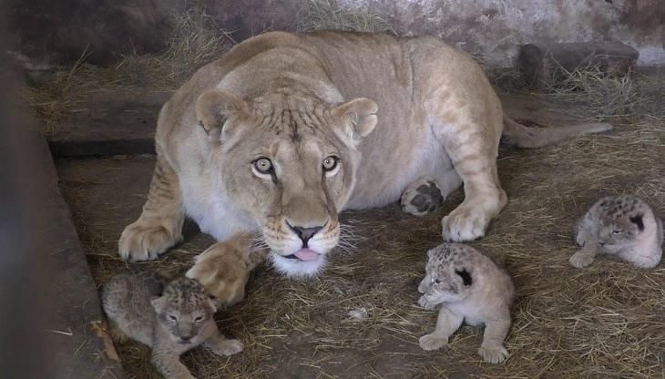 В астраханском зоопарке родились три львёнка