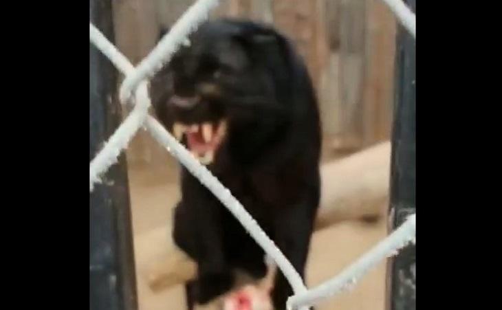 Хищник из астраханского зоопарка выплеснул гнев на директора