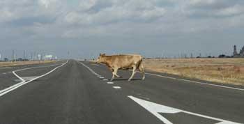 Бродячих коров с астраханских трасс уберут «по-сочински»