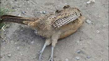 На улице Астрахани сфотографировали мертвых фазанов