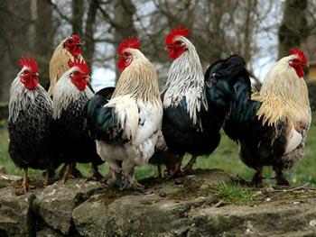 Директор астраханской птицефабрики в колонии занят петухами