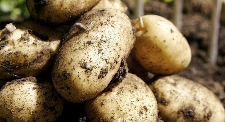 В Астраханской области идёт сбор позднего картофеля