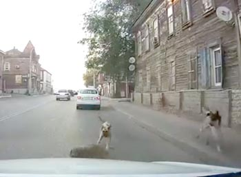 Стаи бродячих собак нападают на автомобилистов в Астрахани