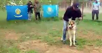 Кобель представлял Астрахань на собачьих боях в Элисте