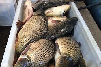 В Астрахани уничтожают рыбу, изъятую у торговцев на улице