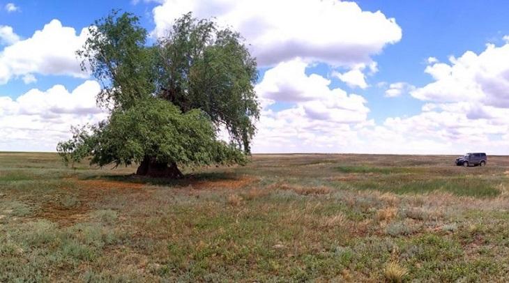 В Астраханской области растёт гигантская ива-долгожительница