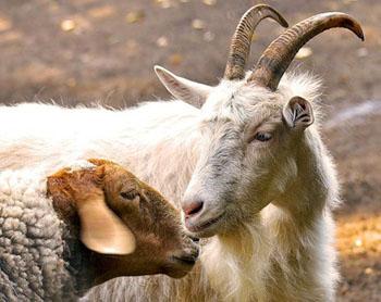Выставка овец и коз в Астрахани обойдётся казне дороже, чем сообщалось