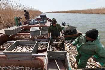 Даже большие штрафы ничему не учат астраханских рыбаков