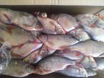 Почти тридцать тонн браконьерской рыбы обнаружены на одном из астраханских рыбодобывающих предприятий