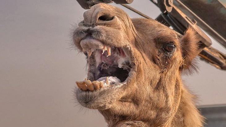 На юге Астраханской области свирепствуют верблюды