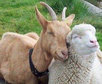 Астраханцев приглашают посетить 19-ю Российскую выставку племенных овец и коз
