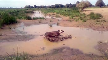 Под Астраханью взлетела корова