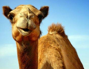 Верблюд причинил серьёзные травмы троим астраханцам