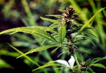 Сельчанин попался под Астраханью с рюкзаком марихуаны