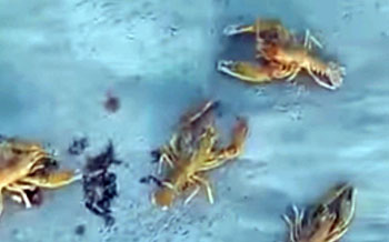В Актау берег Каспия усыпало раками (ВИДЕО)