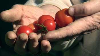 В огороде у астраханки вырос куст томатов черри с рекордным количеством плодов