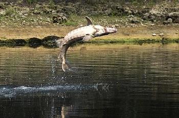 В Астрахани нашли возможность для туристов легально ловить осетров