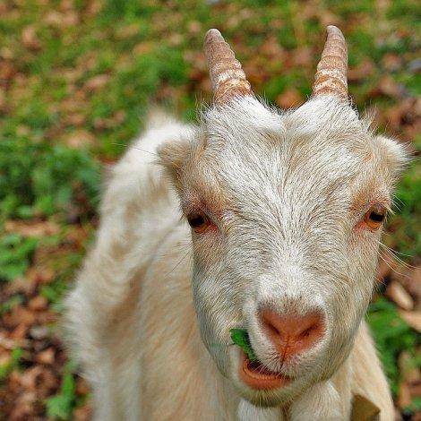 Астраханку постигла неудача при покупке коз