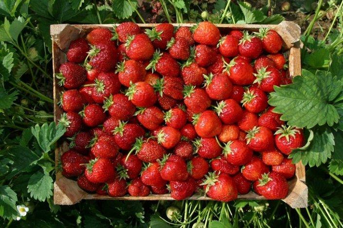 Астраханские фермеры успешно выращивают садовую клубнику
