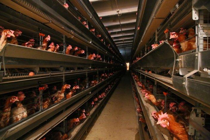 Развитие астраханского птицеводства повлияло на количество яиц