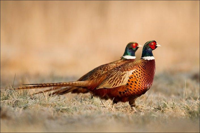 В Астраханском заповеднике считают фазанов