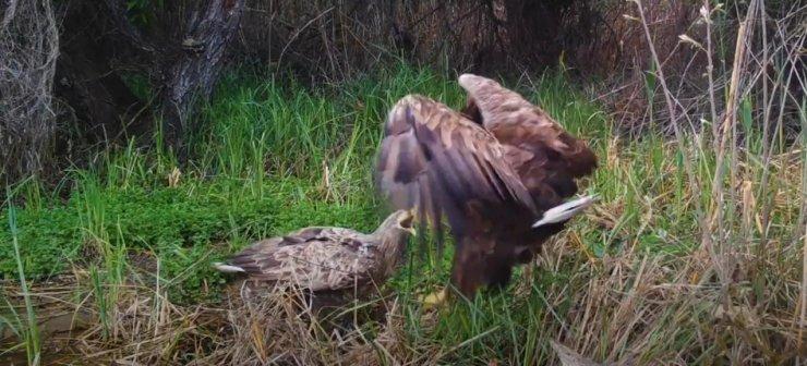 Смертельная битва орланов под Астраханью попала на видео