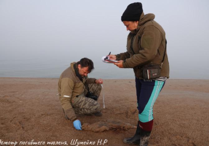 В Астраханской области обнаружены пять мёртвых тюленей и 300 живых