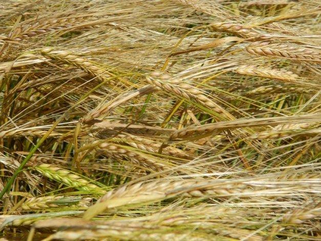 В Астраханской области увеличат посевные площади под зерновые