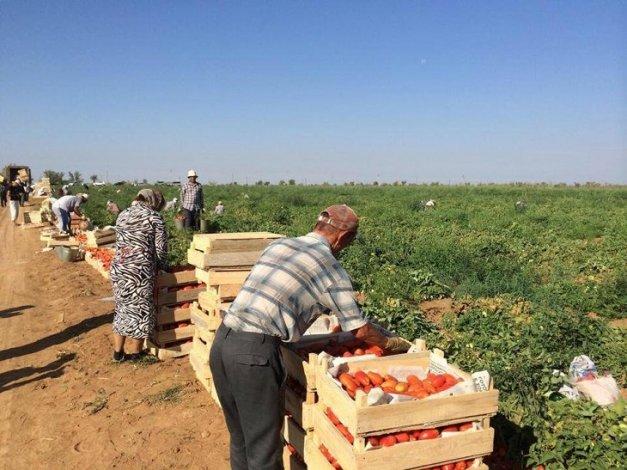 На астраханских полях будут трудиться дагестанские овощеводы