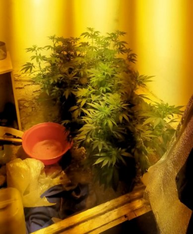 Сельчанин обустроил в подвале выращивание конопли