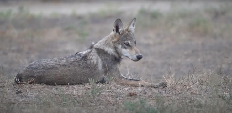 Видео с астраханскими волками поразило интернет-пользователей