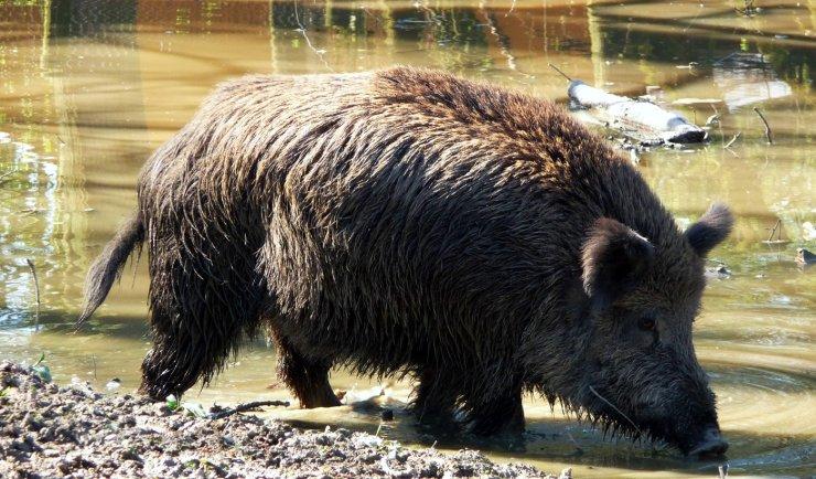 Названы неблагополучные по чуме свиней районы Астраханской области