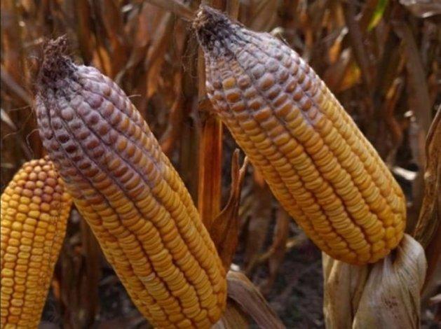 Сомнительного качества кукуруза не попадёт в Астрахань
