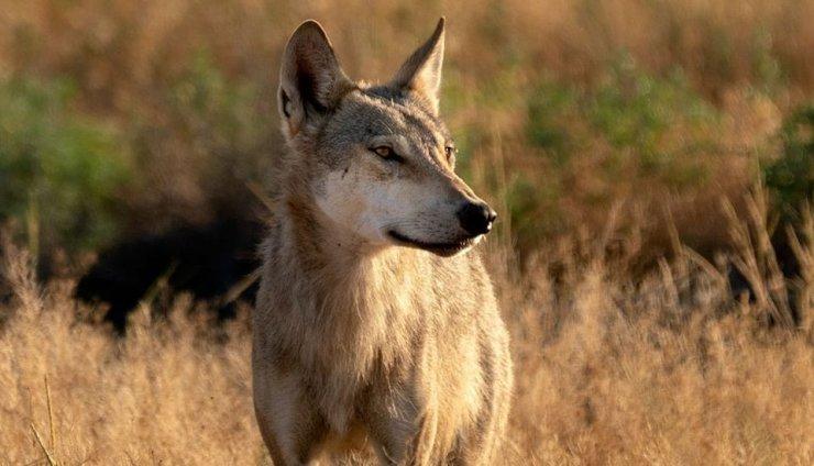 Астраханский фотохудожник рассказал о знакомстве с волками