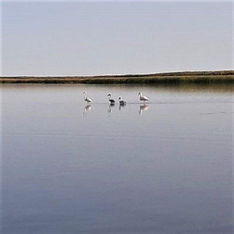 В Астраханский заповедник пожаловали белые фламинго