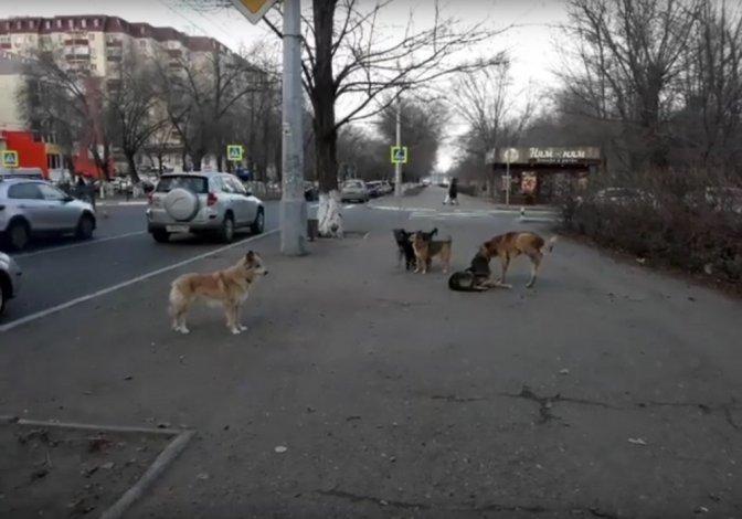 По Астрахани бегает стая из 13 собак