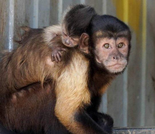 В Астрахани родилась обезьяна