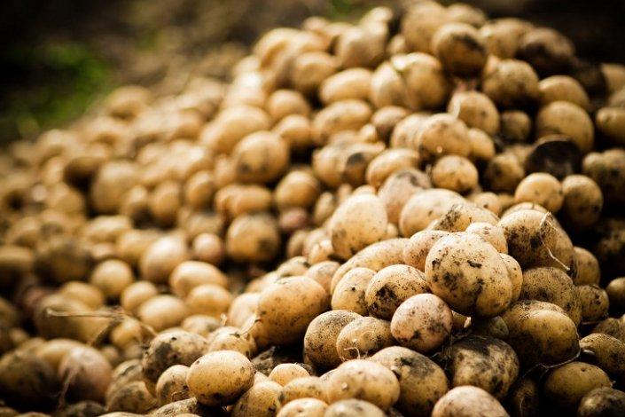 Астраханские фермеры приступили к сбору раннего картофеля