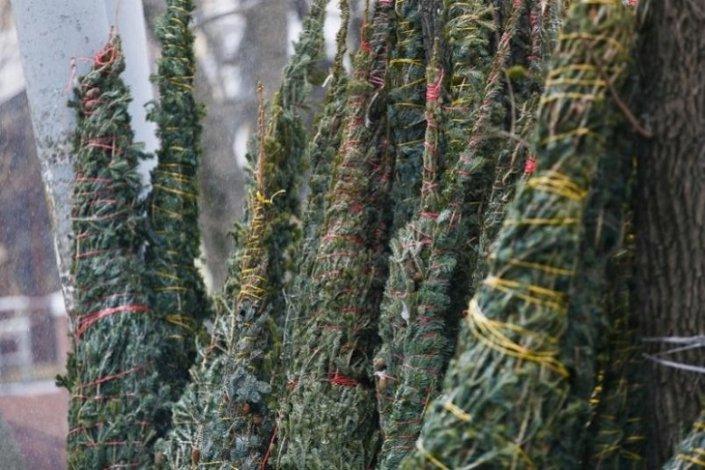 В Астрахани нелегально продают ёлки