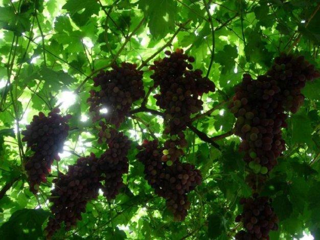 Астраханский фермер развивает виноградарство