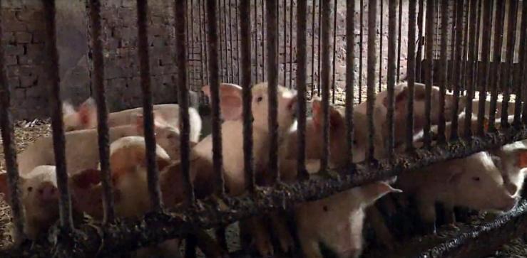Африканская чума свиней продолжает распространяться в Астраханской области